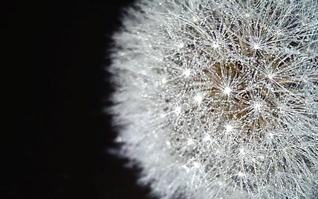 dandelion mist
