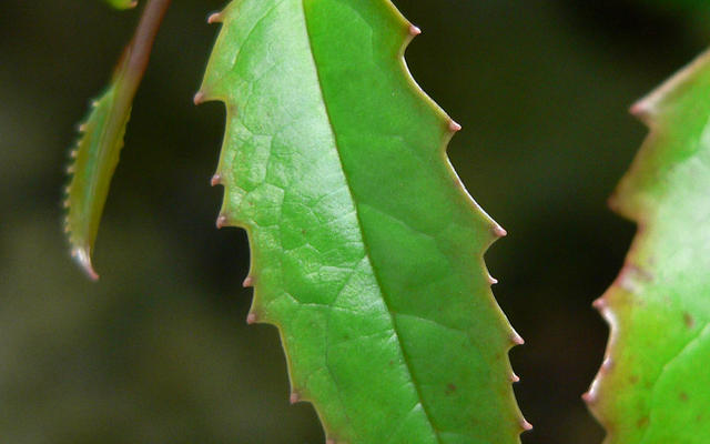 Amborella trichopoda
