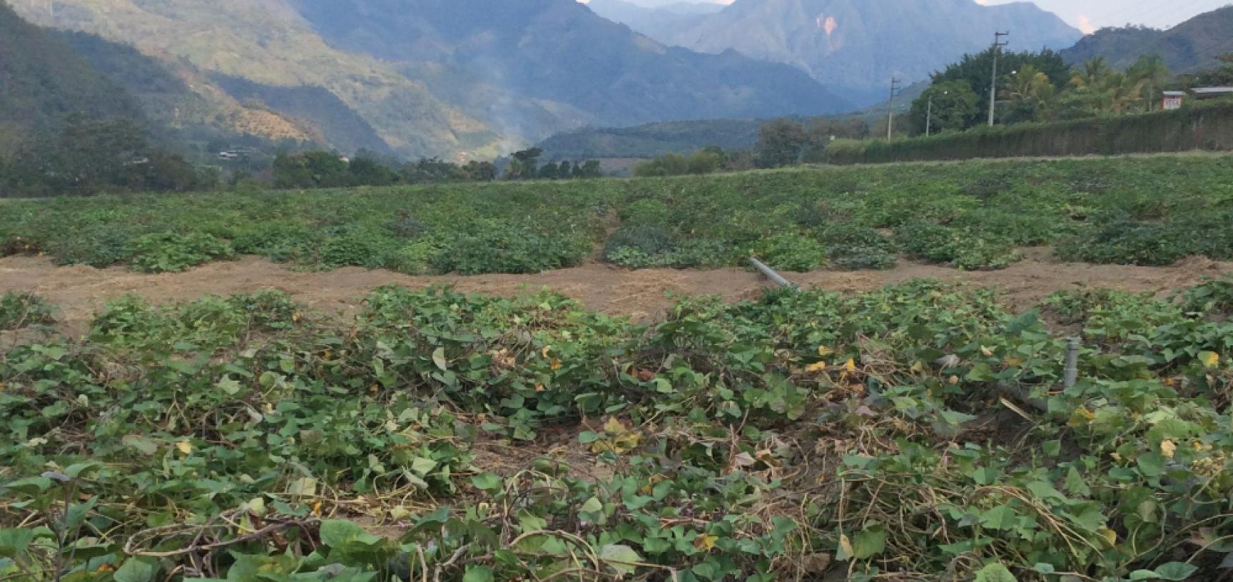 2 sweet potato field in san ramon peru photo by r scotland