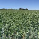 Pea crop field in Oxfordshire (credit: Marcela Mendoza)