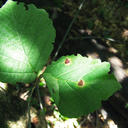witch hazel leaves with aphid galls c. Dave Bonta
