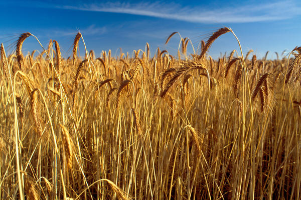 csiro scienceimage 962 wheat crop ready to harvest