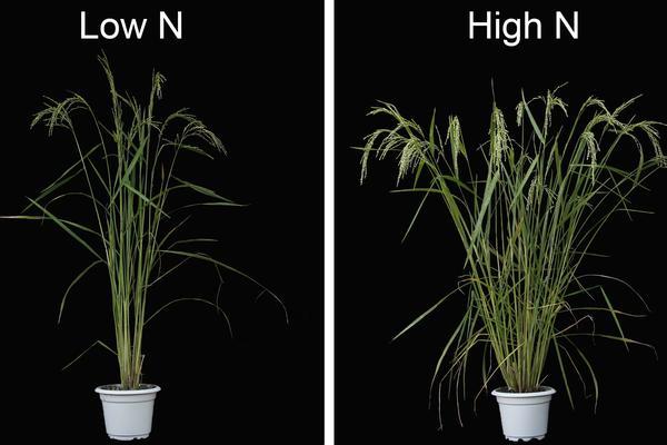 Soil Nitrogen Promotes Rice Branching (c. Kun Wu/Xiangdong Fu, Chinese Academy of Sciences)