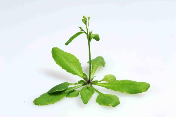 an arabidopsis thaliana image credit eric belfield