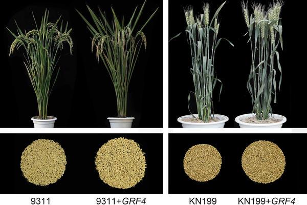 Rice_yield