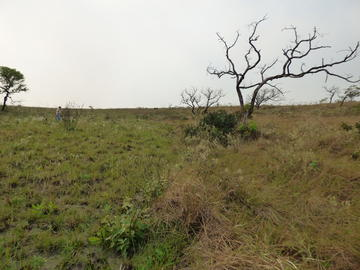 A rare and sadly limited example of fire management in the cerrado. The area on the left was part of a controlled fire experiment in May 2019 by park rangers in Robore. The area on the right shows the accumulated biomass in August 2019 as well as the smal