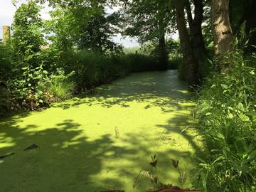 Eutrophication at Christ Church Meadow in Oxford, UK (credit: Marcela Mendoza)