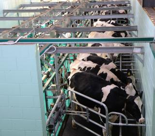 milking 1805390 960